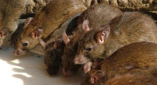 chuột1